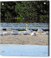 White Pelican Rest Acrylic Print
