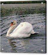 White Swan On Lake Acrylic Print