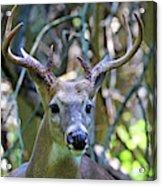 White Tailed Buck Portrait Acrylic Print