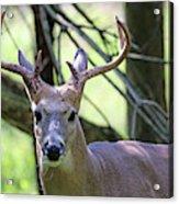 White Tailed Buck Portrait I Acrylic Print