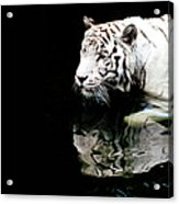 White Tiger In Water Acrylic Print