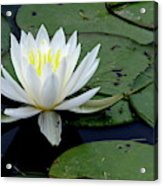 White Water Lilly Acrylic Print