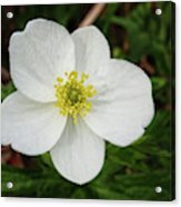 White Wood Anemone Acrylic Print