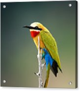 Whitefronted Bee-eater Merops Acrylic Print