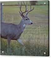 Whitetail Deer Acrylic Print