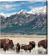 Wild Bison On The Open Range Acrylic Print
