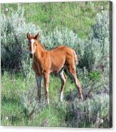 Wild Horse Foal Acrylic Print