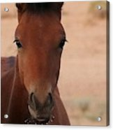 Wild Horse Luke Acrylic Print