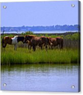 Wild Horses Of Assateague Island Acrylic Print