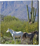 Wild Horses Tonto National Forest Acrylic Print