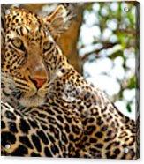 Wild Leopard Lying In Wait Atop A Tree Acrylic Print