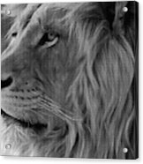 Wild Lion Face Acrylic Print