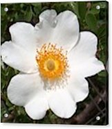 Wild Texas Rose, White Acrylic Print