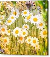 Wild White Daisies Acrylic Print