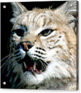 Wildcats Mascot 2 Acrylic Print