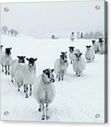 Winter Sheep V Formation Acrylic Print