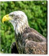 Wisconsin Bald Eagle Acrylic Print