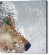 Wolf In The Snowstorm - Painting Acrylic Print