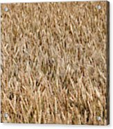 Wonderful Wheat Acrylic Print