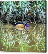 Wood Duck Reflection Acrylic Print