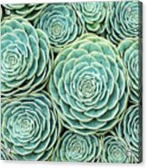 Xxxl Natural Pattern Of Hens And Chicks Acrylic Print