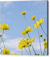Yellow Cosmos Flowers With Light Blue Acrylic Print