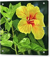 Yellow Hibiscus With Bright Green Leaves Acrylic Print