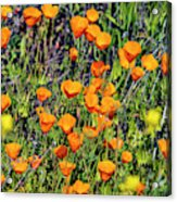 Yellow Poppies Of California Acrylic Print