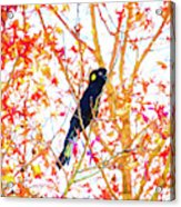 Yellow tailed black cockatoo Acrylic Print