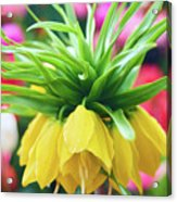 Yellow Tulip Close Up Acrylic Print