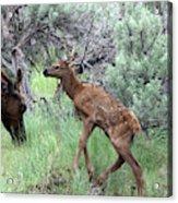 Yellowstone Elk Calf And Cow Acrylic Print