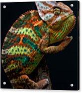 Yemen Chameleon Acrylic Print