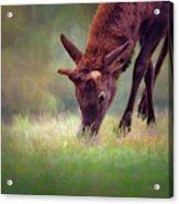 Young Elk Grazing Acrylic Print