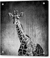 Young Giraffe Black And White Acrylic Print