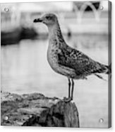 Young Seagull Acrylic Print