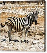 Zebra And White Rocks Acrylic Print