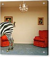 Zebra In Living Room Swishing Tail Acrylic Print