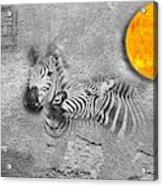 Zebras No 02 Acrylic Print