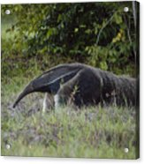 Giant anteater (myrmecophaga tridactyla), cerrado region, Brazil Acrylic Print