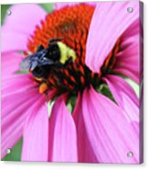 A Busy Bee at Work Acrylic Print