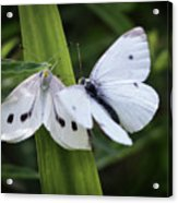 A Couple of Butterflies Acrylic Print