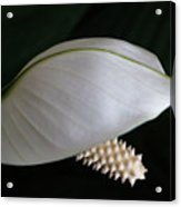 A Peace Lily Helmet Acrylic Print