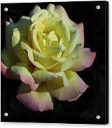A Peaceful Rose Invitation Acrylic Print