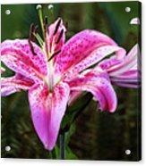 A Stargazer Lily Show Acrylic Print