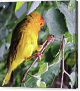 A Sun Conure Parakeet enjoying the sun Acrylic Print