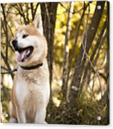 Akita inu dog on a walk in the forest Acrylic Print