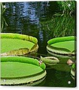 Amazonas Lily Pads Acrylic Print