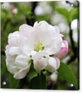 Apple Blossoms 1 Acrylic Print