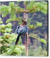 Bluebird of Happiness Acrylic Print
