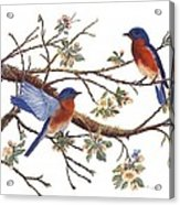 Bluebirds And Apple Blossoms Acrylic Print